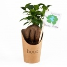 Pot en carton avec Ficus ginseng ou Olivier -102073